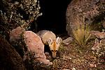Culpeo (Lycalopex culpaeus) fox at night, Ciudad de Piedra, Andes, western Bolivia