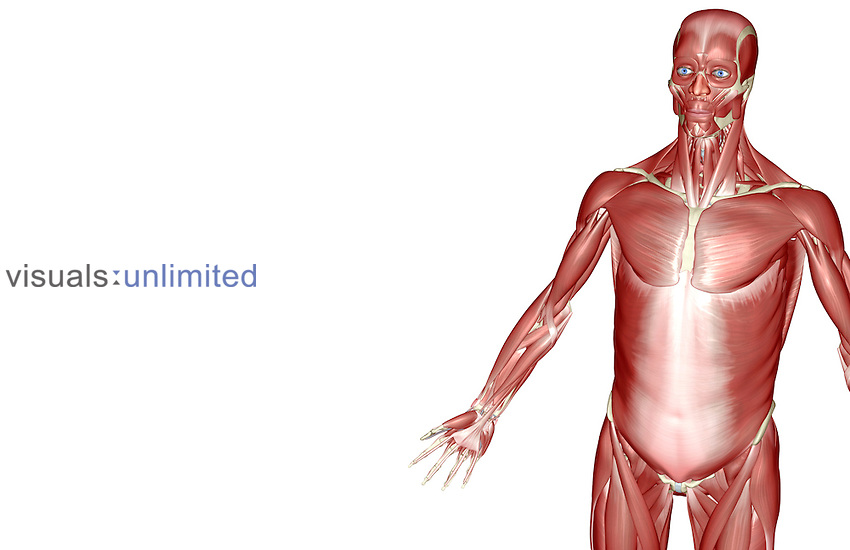 A superior anterolateral view (left side) of the muscles of the upper body. Royalty Free