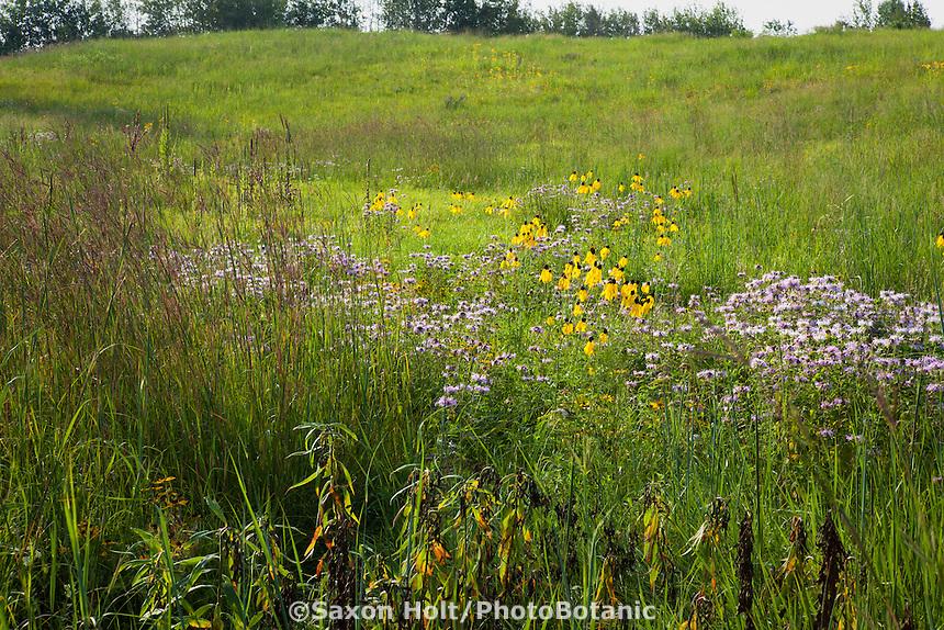 Late summer wildflowers in Minnesota prairie at Crow-Hassan Park, Big bluestem grass, Coneflowers, Bergamot