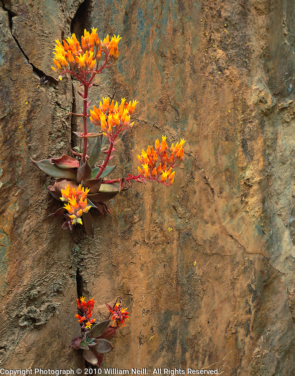 Stonecrop, Merced River Canyon, Sierra National Forest, California  1998