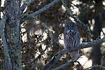 Great Gray Owl (Strix nebulosa), Sax-Zim Bog, northern Minnesota