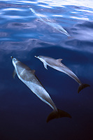 Pantropical Spotted Dolphins, Stenella attenuata, off the Puako coast on the Big Island of Hawaii, USA. Pacific Ocean