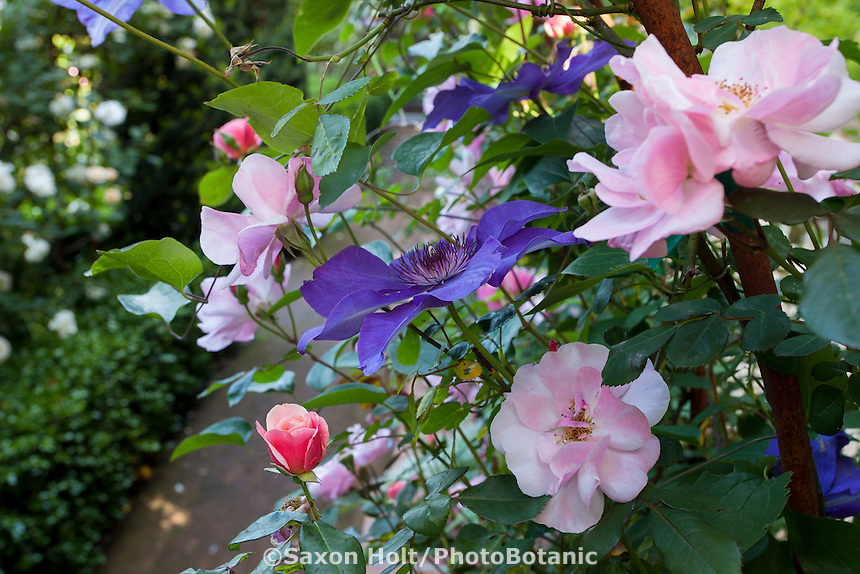 Blue flowering Clematis entertwined with pink roses in backyard garden