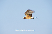 00803-00312 Northern Harrier (Circus cyaneus) female in flight Jasper County   IL