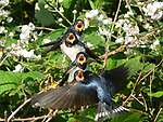 """Four young hungry swallows are perched on a bush with their beaks wide open as they eagerly await to be fed. <br /> <br /> The photographs were taken by factory worker Brian Davies in Cleethorpes, Lincolnshire. <br /> <br /> The 49 year old said """"It was quite an amazing sight when I saw these four beaks wide open on these young swallows. They were waiting for their parents to return to be fed!"""" <br /> <br /> """"I was so pleased when I caught this moment."""" <br /> <br /> Please byline: Brian Davies/Solent News<br /> <br /> © Brian Davies/Solent News & Photo Agency<br /> UK +44 (0) 2380 458800"""