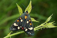 Schönbär, Callimorpha dominula, Panaxia dominula, scarlet tiger moth, L'écaille marbrée, écaille rouge, Bärenspinner, Arctiinae, Arctiidae