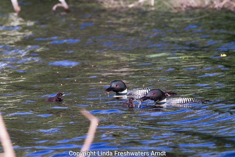 Common loon feeding chicks