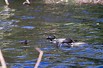 Common loon feeding chicks