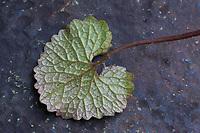 Gewöhnliche Knoblauchsrauke, Knoblauchsrauke, Knoblauchrauke, Knoblauch-Rauke, Knoblauchs-Rauke, Lauchkraut, Knoblauchskraut, Knoblauchhederich, Knoblauchshederich, junge, zarte Blätter vor der Blüte, Alliaria petiolata, Hedge Garlic, Jack-by-the-Hedge, Garlic Mustard, garlic root, Alliaire, L'Alliaire officinale, Herbe à ail. Blatt, Unterseite, Blattunterseite, Blätter, leaf, leaves