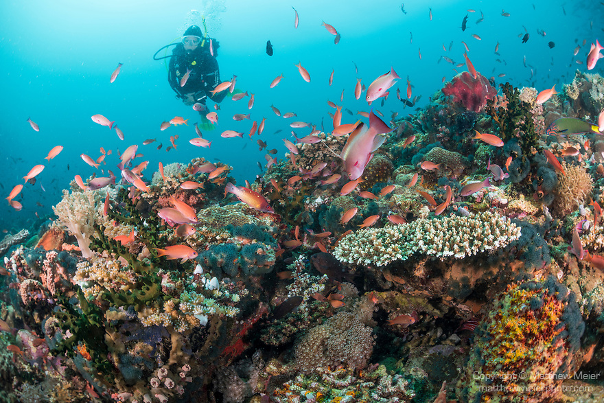 Verde Island, Oriental Mindoro, Philippines; a scuba diver swimming over a school of scalefin anthias on the coral reef
