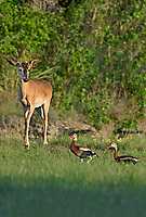 625350309v a young wild whitetail deer odocoileus virginianus looks down on two black-bellied whistling ducks dendrocygna autumnlais in an open field in the hill country of central texas