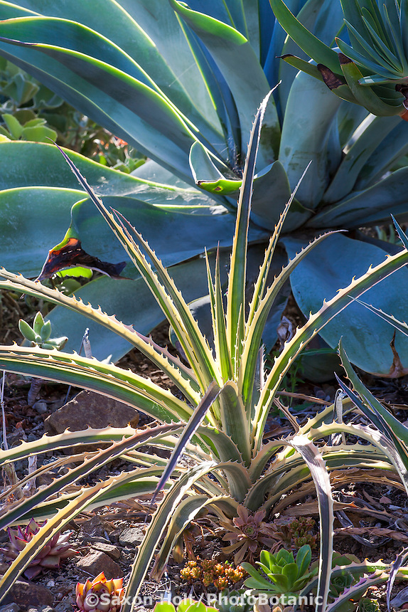 Bromelia balansae varigated foliage with Agave attenuata 'Boutin Blue' (Fox tail Agave) in Bancroft Garden