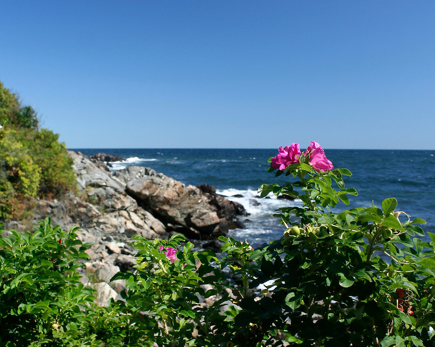 Maine scenic sea rose at Ogunquit beach