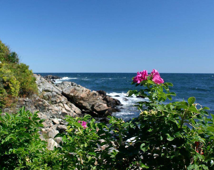 Maine scenic sea rose at Ogunquit beach