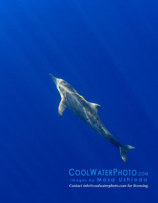 rough-toothed dolphin, Steno bredanensis, off Kona Coast, Big Island, Hawaii, Pacific Ocean