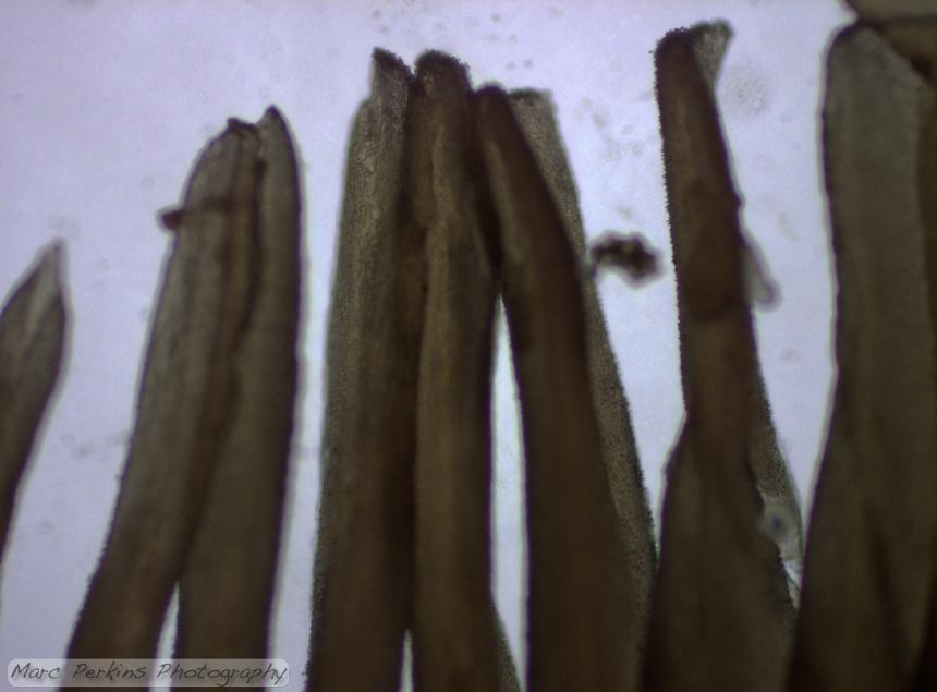 A cross section through the gills of a fresh mushroom; basidia producing basidiospores are visible as bumps along the dark brown gills.
