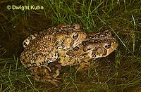 FR11-502z  American Toads mating in pond, Bufo americanus or Anaxyrus americanus