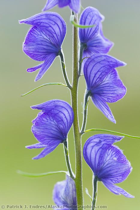 Monkshood, wildflower, Denali National Park, Alaska