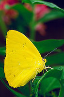 PHOEBIS PHILEA, Orange-Barred Sulphur Butterfly,                              subfamily - Coliadinae;    family - Pieridae;    order - Lepidoptera;      class - Insecta;    phyllum - Arthropoda;     kin gdom - Animalia. NEW ORLEANS LOUISIANA USA AUDUBON