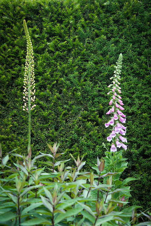 Foxglove and foxtail lily (Eremerus) in front of yew hedge in main border at Tidebrook Manor, early June.