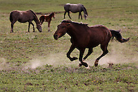 Stallion chases studs away from his mares in the White Sands herd with the International Society for the Protection of Mustangs and Burros. Three herds are  cared for at the oldest wild horse organization founded in 1960.  Karen Sussman is the third president.<br /> Wild Horse Annie, Velma Johnston, was the first. Annie, along with Helen Reilly worked together for the passage of the 1971 Wild Horses and Burros Act to protect horses from slaughter and inhumane treatment.