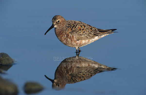 Curlew Sandpiper, Calidris ferruginea, adult, Samos, Greek Island, Greece, May 2000