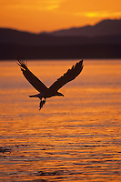 Bald Eagle flying against sunset colors with fish it has caught.  Pacific Northwest.