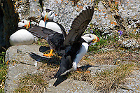 A horned puffin lands on the rocks at Duck Island, a bird rookery in lake Clark National Park, Alaska.