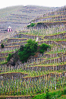 Terraced vineyards in the Cote Rotie district around Ampuis in northern Rhone planted with the Syrah grape. A storage hut marked with VF signifying Vidal Fleury a producer or brand now owned by Guigal.  Ampuis, Cote Rotie, Rhone, France, Europe