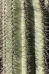 Tucson, Arizona; patterns formed by the close up view of ribs and spines of a Saguaro Cactus (Carnegiea gigantea), early morning sunlight and shadows