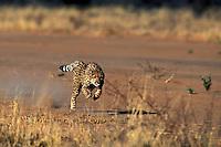 Cheetah Acinonyx jubatus, Namibia, Africa