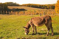 An ass donkey grazing in a field in warm autumn sunshine Truffiere de la Bergerie (Truffière) truffles farm Ste Foy de Longas Dordogne France