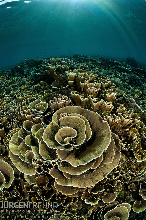 A reef full of cabbage corals.