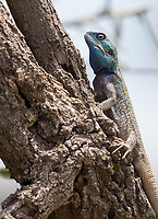 We saw a couple of the colorful agama species found in Tanzania during this trip.