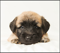 BNPS.co.uk (01202 558833)<br /> Pic: PhilYeomans/BNPS<br /> <br /> Whisper it quietly...but this dozing puppy could be a lifeline for Britains rarest breed of dog.Only 28 Skye Terriers were registered last year with the kennel club - making the ancient British breed rarer than White Rhino's, Tigers or even Giant Panda's. <br /> <br /> Plucky British dog breeds like these adorable Skye Terriers, Sussex Spaniels and Otterhounds are more endangered than the Giant Panda due to the modern infatuation with fashionable crossbreeds and foreign invaders.<br /> <br /> The unprecedented rise in popularity of 'handbag dogs' has put many traditional breeds on the brink of extinction. <br /> <br /> The bottom three in last years KC figures are Skye Terriers(28), Otterhounds(40) and Sussex Spaniels(49) making these adorable puppies a vital lifeline for their historic breeds - by contrast over 20,000 French Bulldog's were registered in 2016.