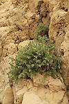 Israel, Negev, Golden Drop (Podonosma orientalis) in Nahal Tzafit