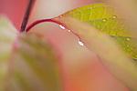 Dogwood leaf sunrise with dew drops