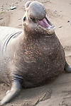 San Simeon, California; an adult male Northern Elephant Seal (Mirounga angustirostris) throughs his head back in an intimidating diplay and vocalizes while on the sandy beach at the water's edge