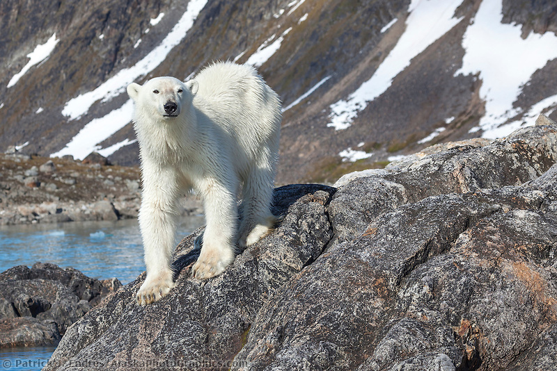 Polar bear on rocky island, Svalbard