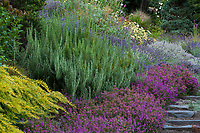 Rosmarinus officinalis, rosemary 'Miss Jessopp's Upright' with Erica cinerea 'Purple Beauty' Bell Heather, Grey Heath, Scotch Heath 'Purple Beauty' groundcover Albers Vista Gardens