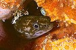 Enchelycore nigricans, Viper moray, juvenile, Bonaire