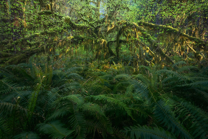 Early morning light gives a soft glow to the reaching arms of this old tree, framed by lush ferns in the Quinault rainforest.<br />