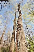 Poison Ivy; Toxicodendron radicans; vine on tree; PA, Philadelphia, Schuylkill Center