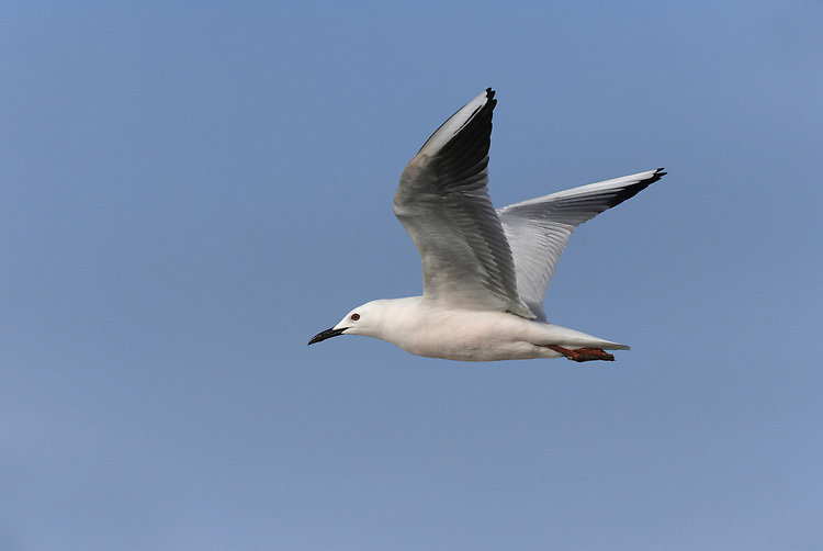 Slender-billed Gull - Larus genei