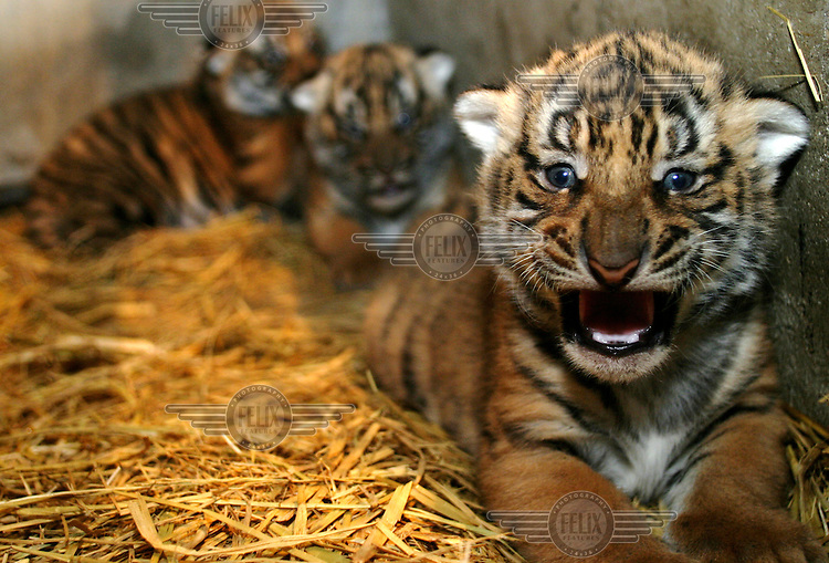 One month old male South China tiger cubs at the Shanghai Zoo Animal Breeding Center. Found only in southern China, the South China Tiger is a class A endangered species, the captive breeding and animal exchange programs have seen some success in saving these animals, however their future remains hazy due to a lack of sufficient funding for these programs.