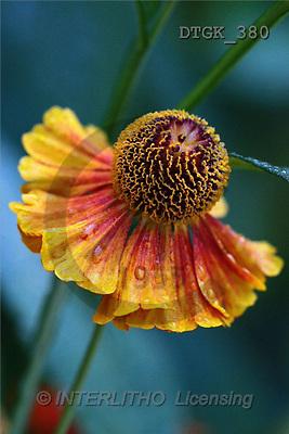 Gisela, FLOWERS, photos(DTGK380,#F#) Blumen, flores, retrato