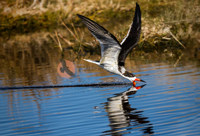 Black Skimmer, skimming along water surface in canal at Merritt Island, Florida