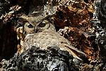 Great-horned Owl for JLSHP