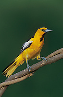 Bullock's Oriole, Icterus bullockii, male, Lake Corpus Christi, Texas, USA, May 2003