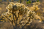 Teddybear Cholla (Opuntia bigelovii), Joshua Tree National Park, California